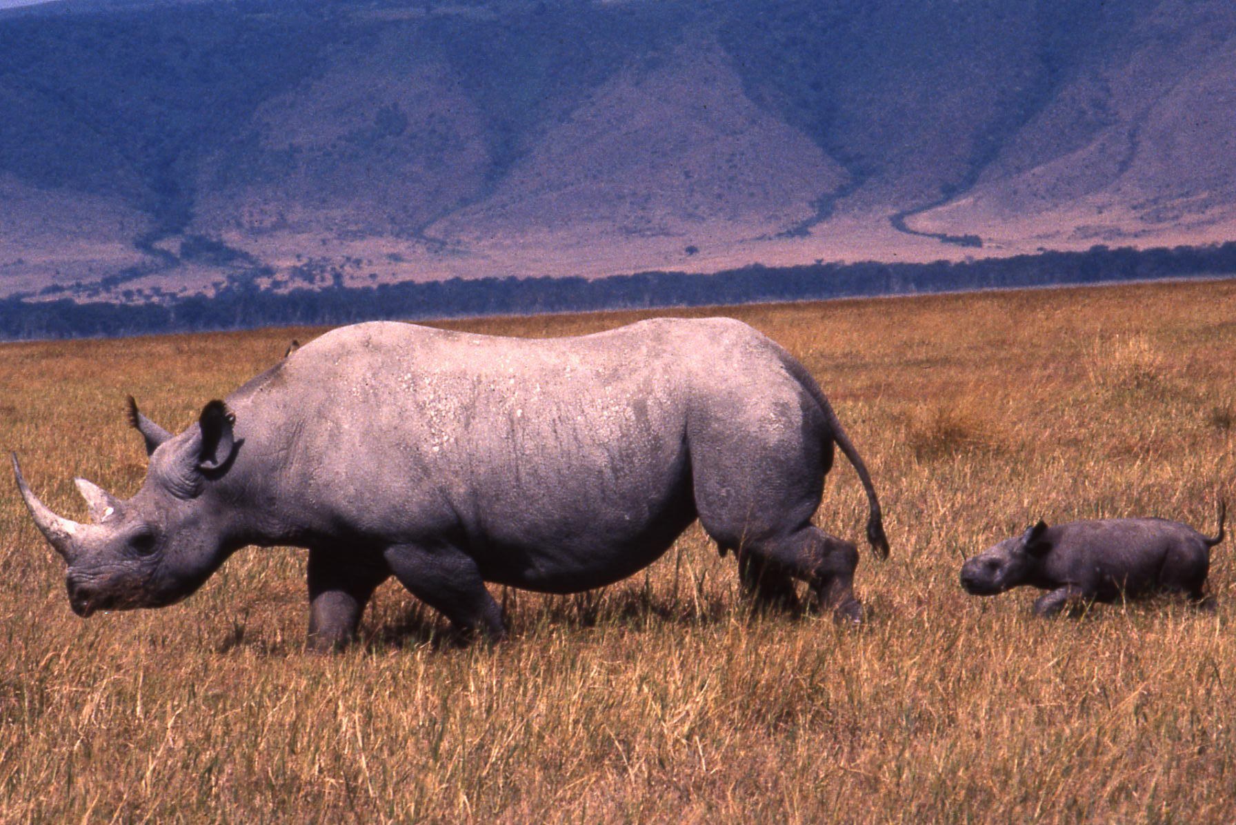 Search for Rhino in the Ngorongoro Crater